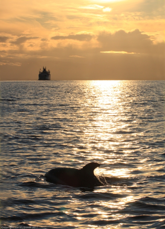 Pacific white-sided dolphins swiming in the sunset near Powell River, B.C., Canada.